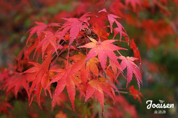 香蘭溪楓葉